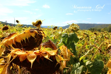 Sunflowers in Schoharie