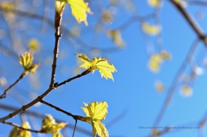'Hope is Chartreuse' A Mother's Day picnic by the Beaverkill inspired a poem and this photo of maple leaves being born
