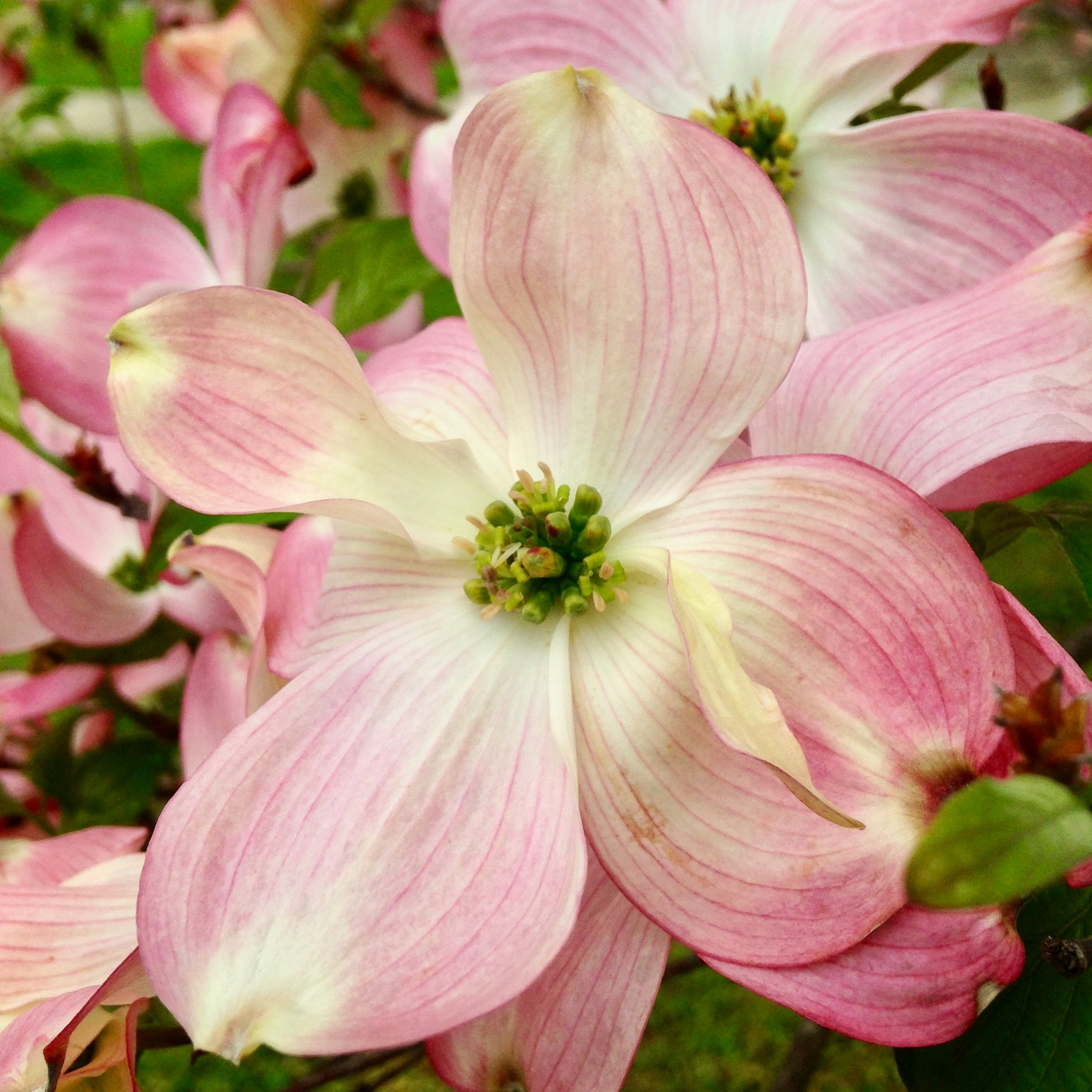 Pink Dogwood Flower By Rebecca Andre Mountain Girl Photography
