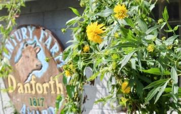 Danforth Farm coreopsis